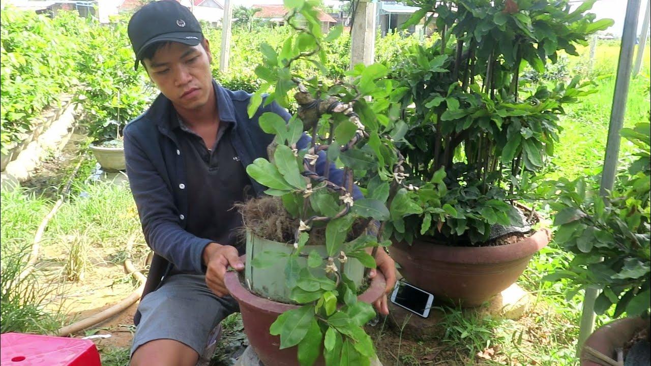 Gl mai bonsai cúc 4 long chân dài dáng đổ (đã bán)