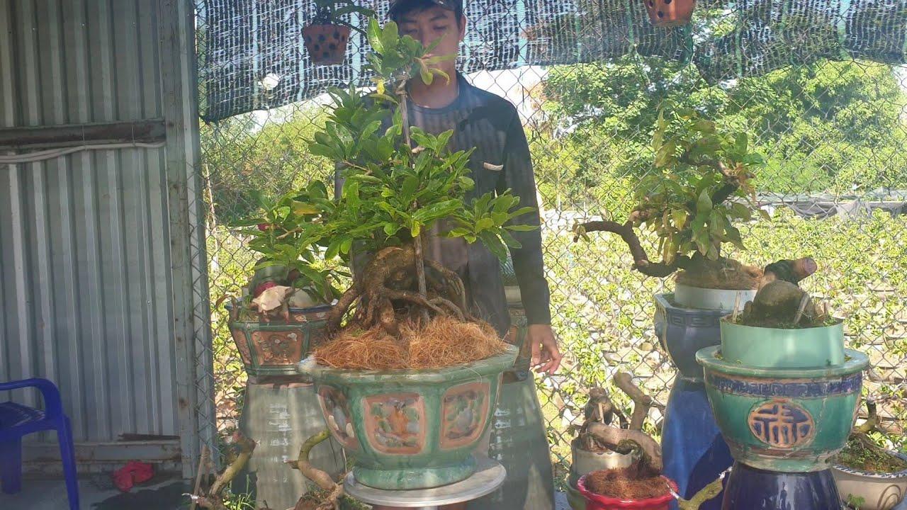 Gl mai bonsai cúc Hoàng Hậu dáng thú(đã bán)
