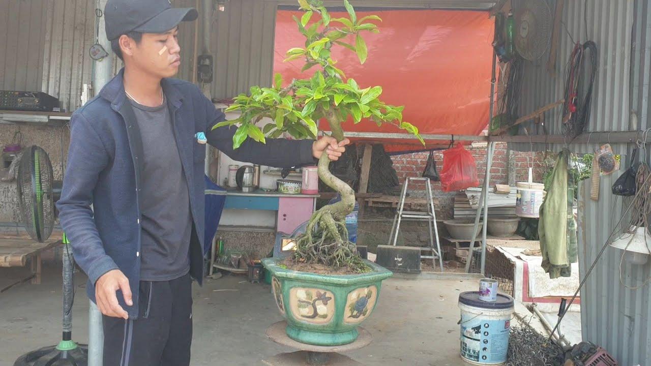 Gl mai bonsai dáng tranh độc lạ (0383938201)