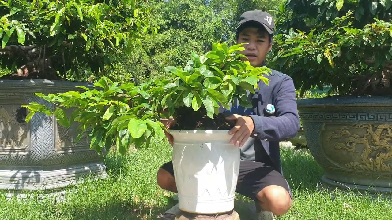 Gl mai bonsai song thân dáng đổ treo (đã bán)