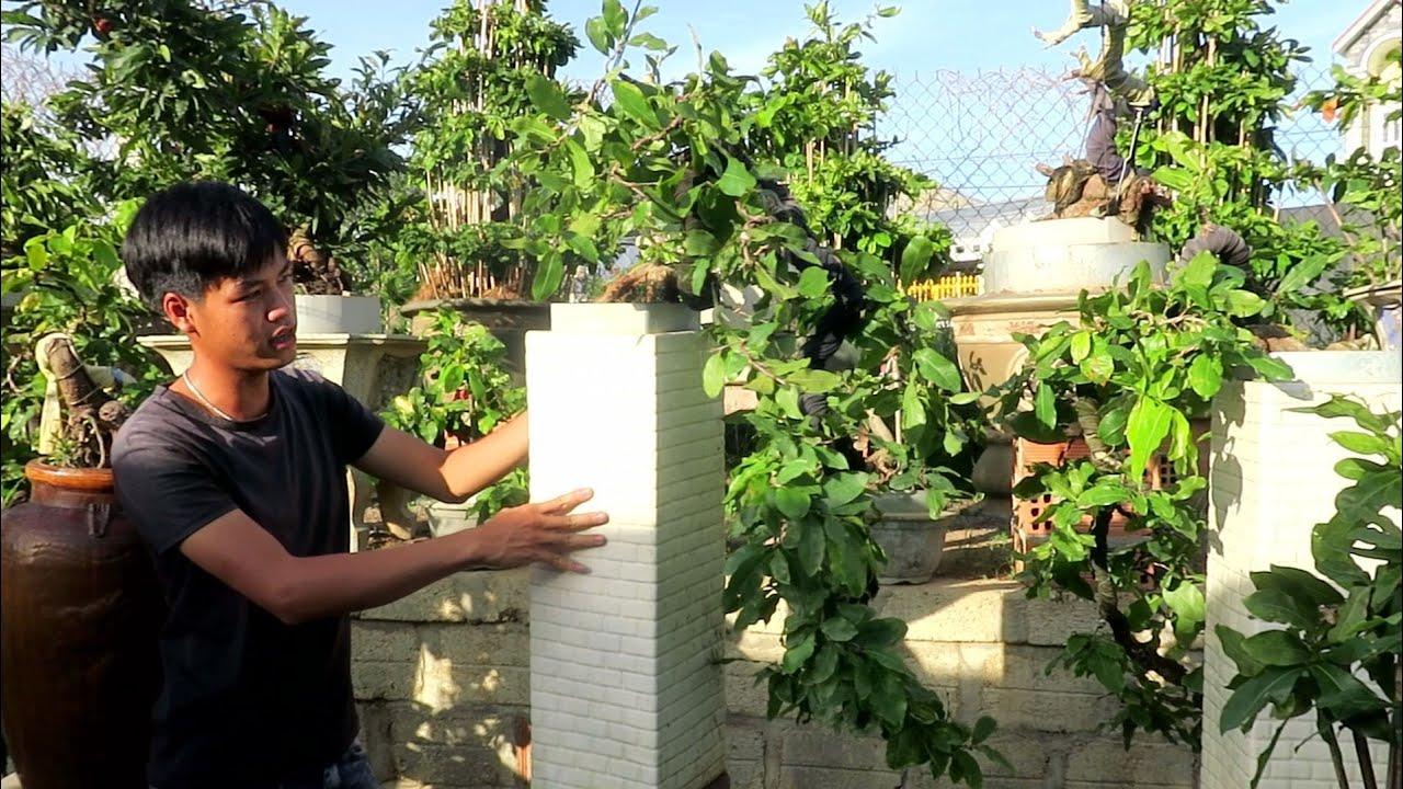 Gl mai bonsai thác đổ giống 4_long giá 7 triệu (đã bán)