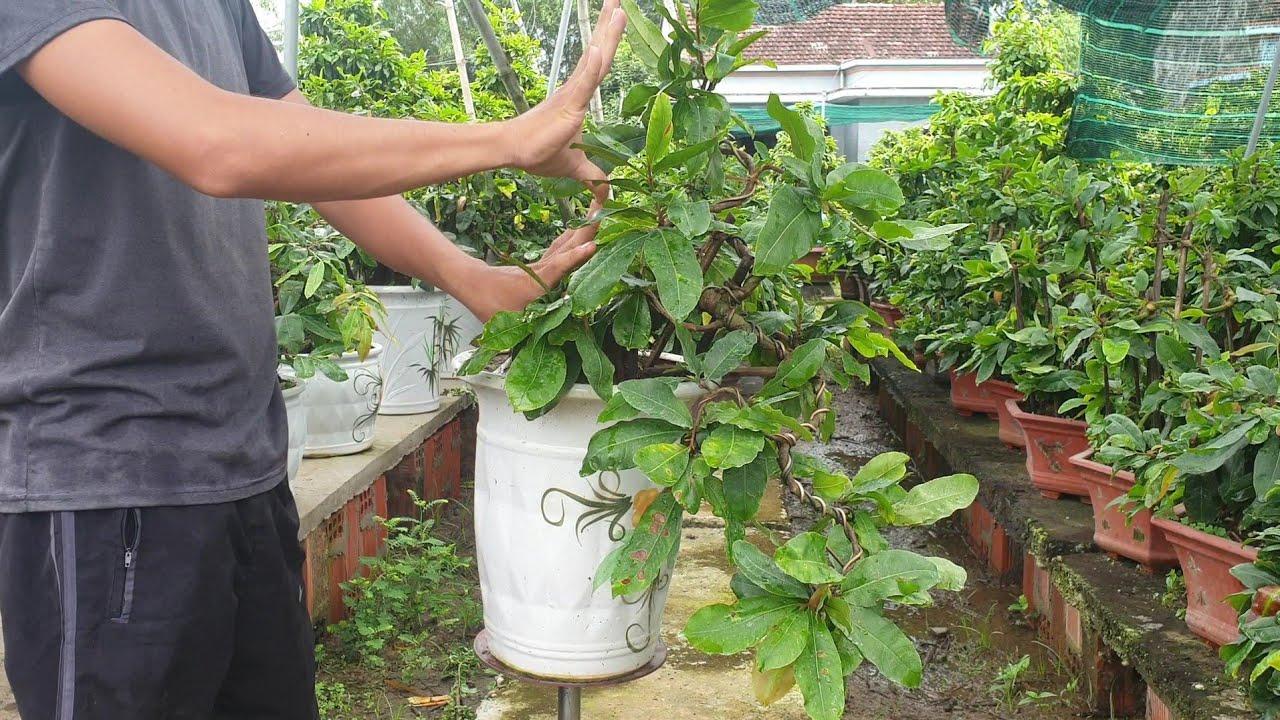 Gl mai bonsai thác đổ mini (đã bán)