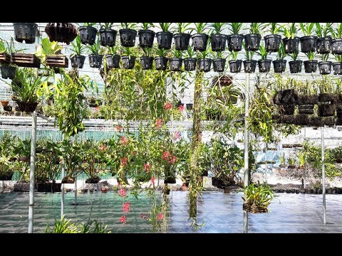 Hệ Thống - Kỹ Thuật Tưới Lan - Sai Lầm Lớn Của Nông Dân Nguyễn Ngọc Hà [HOALANTV]