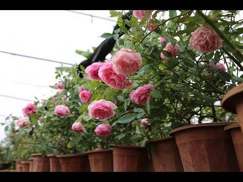 Hoa hồng Điều cổ - Bạch Đào cổ | Top hoa hồng cổ Việt Nam quý nhất