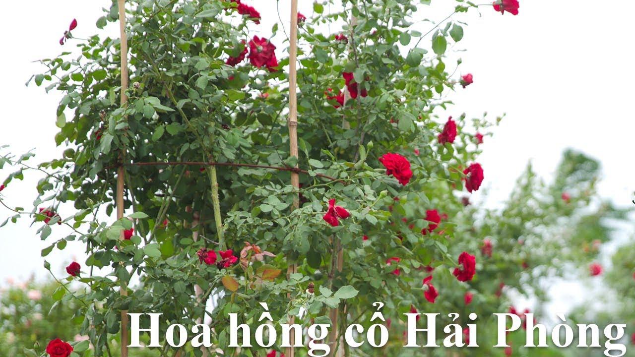 Hoa hồng cổ Hải Phòng - Hồng leo đỏ cổ Việt Nam tuyệt đẹp