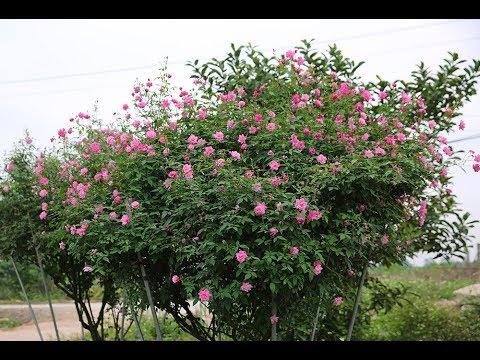 Hoa hồng cổ Quế kép hồng | Hoa hồng cổ Việt Nam