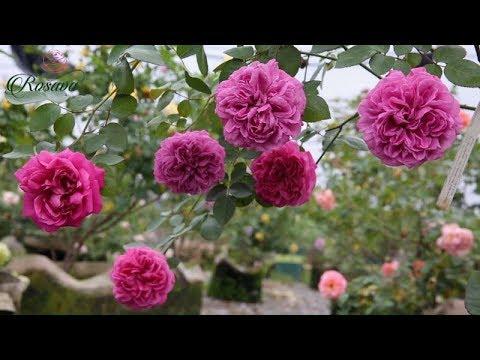 Hoa hồng màu tím Hector rose - Hoa hồng nhật bản chính hiệu