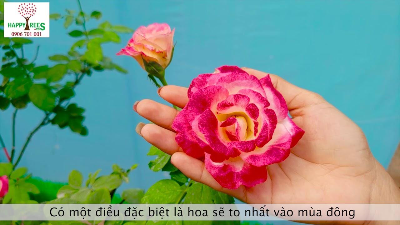 Hoa hồng ngoại Double Delight được yêu thích nhất ở thời điểm hiện tại
