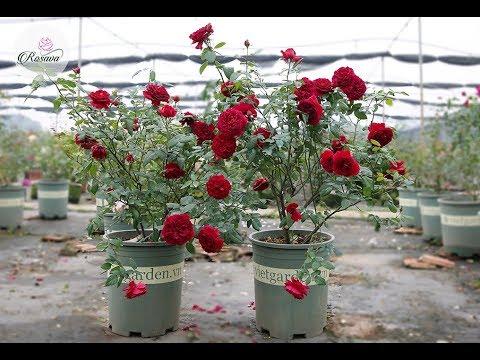 Hoa hồng ngoại Femme Fatale rose hoa hồng đỏ được săn đón chơi tết 2019