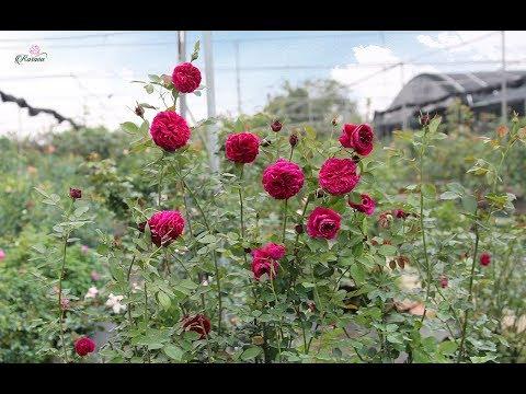 Hoa hồng ngoại Rose Royale Top 10 giống hoa hồng Nhật không thể bỏ lỡ