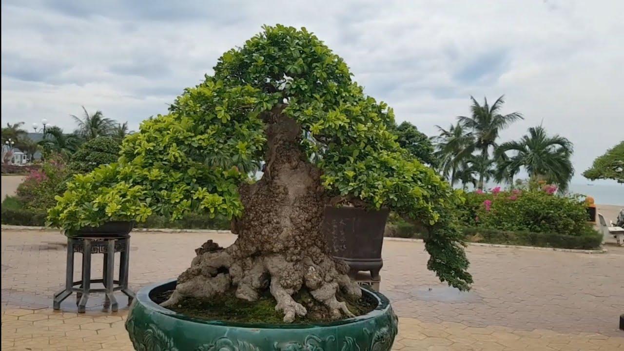 Hội Triển lãm Sinh vật cảnh lần III Quy Nhơn (Tác phẩm cây Ngâu bonsai giá 1tỷ)