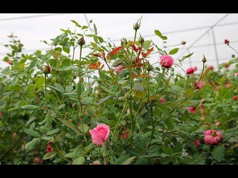 Hướng dẫn cách cắt tỉa hoa hồng đúng kỹ thuật   Cách trồng và chăm sóc hoa hồng