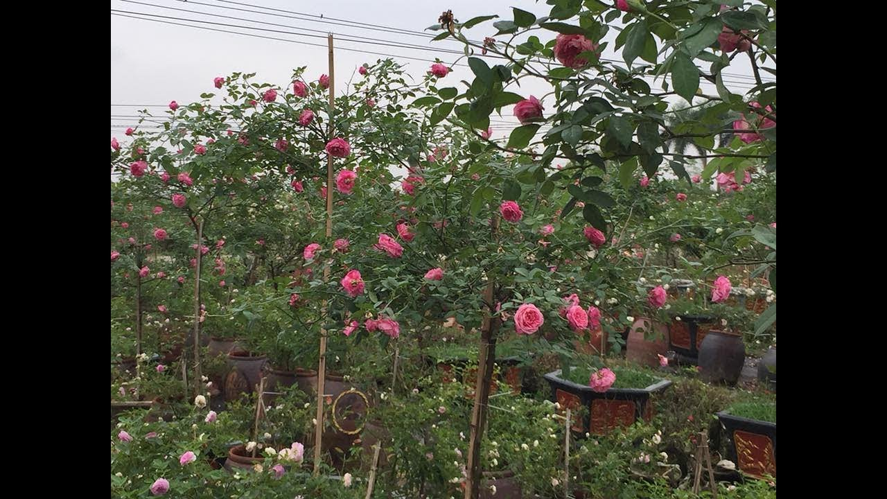 Hướng dẫn cách làm để hoa hồng ra hoa đúng tết