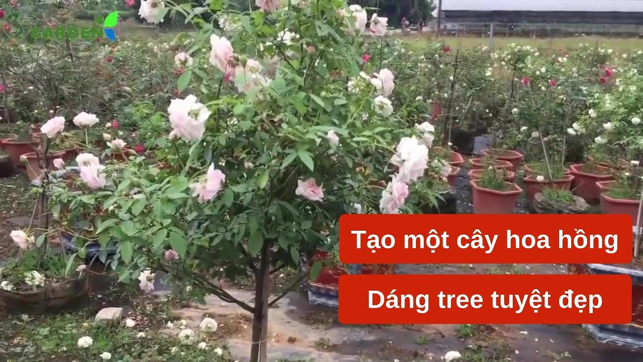 Hướng dẫn tạo một cây hoa hồng đẹp, tăng giá trị nhiều lần- hồng dáng tree (thân gỗ)
