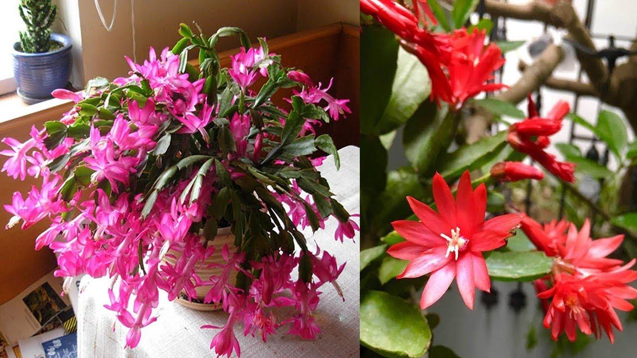 Hướng dẫn trồng cây hoa tiểu quỳnh ra hoa đẹp lung linh