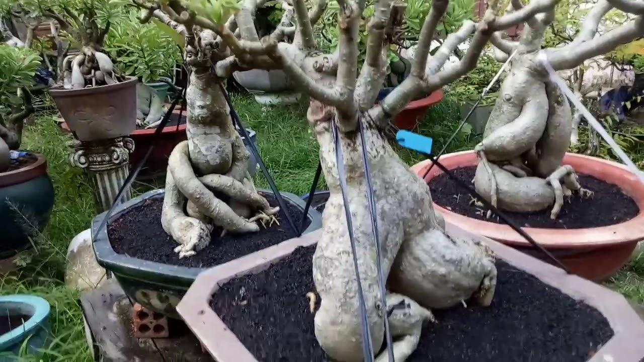 KẾT THÚC GIAI ĐOẠN ĐẦU: Chăm sóc cây sứ ghép sau 1 tháng..