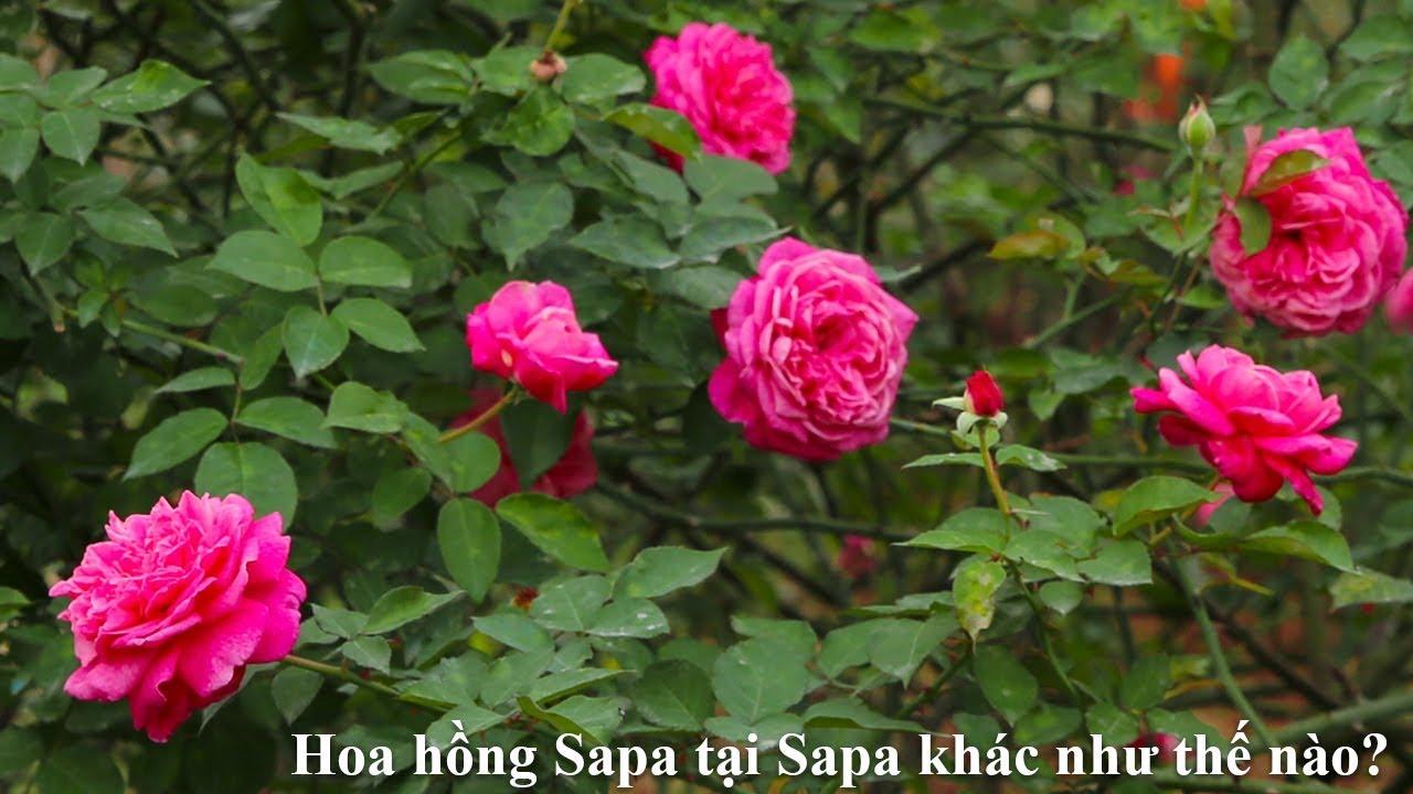 Khám phá vẻ đẹp của hoa hồng cổ Sapa tại xứ sở Sapa | Hoa hồng cổ Việt Nam