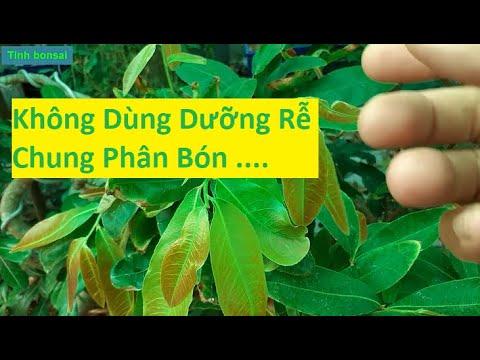 Không Dùng Kích Rễ Lúc Bón Phân Cho Mai Vàng | Tính Bonsai