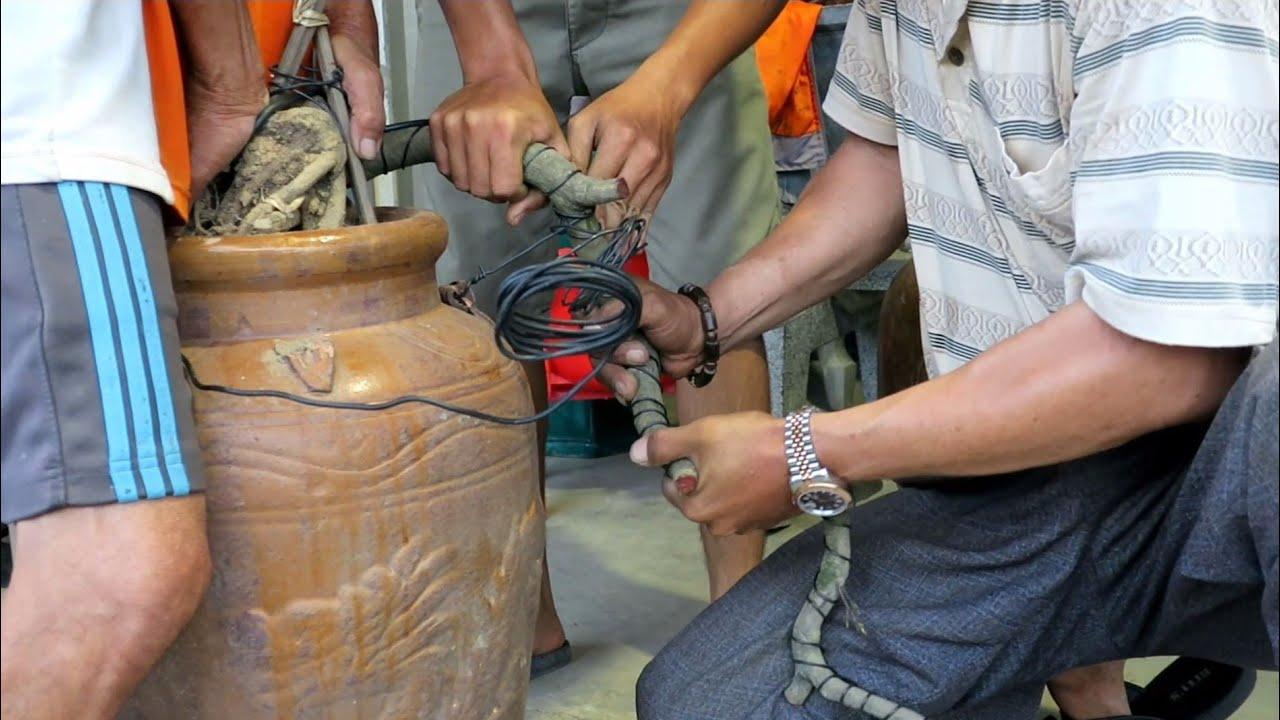 Kỹ thuật chuyển thế mai dáng long thành mai bonsai thác đổ ôm lu (Lê Quý bonsai)