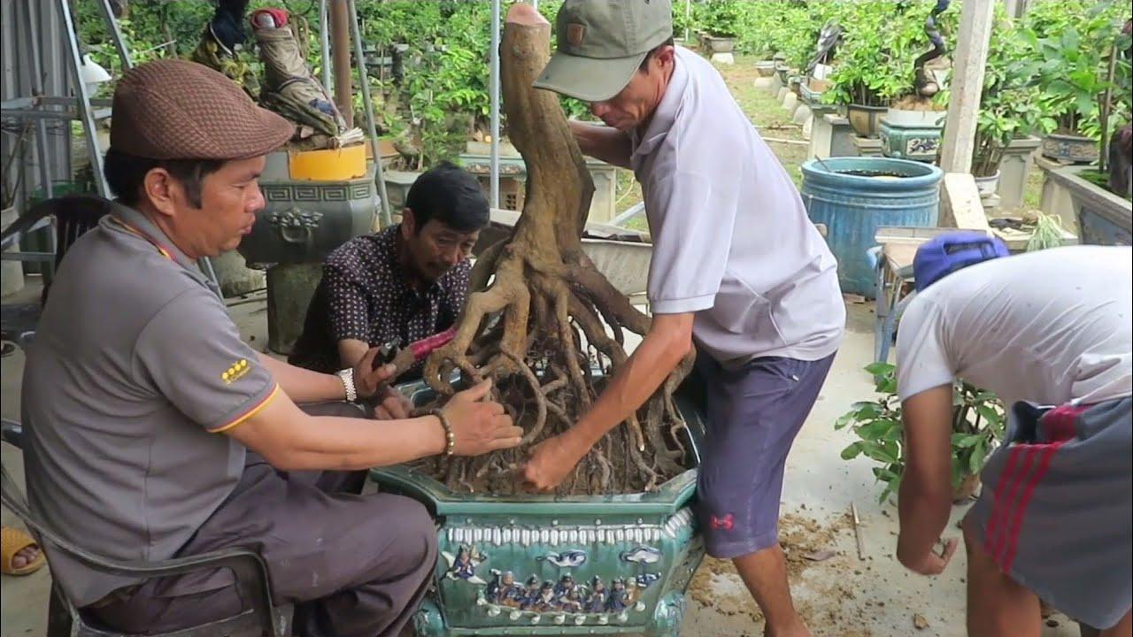 Kỹ thuật ép rễ vào chậu gốc mai bonsai chân dài siêu mẫu ( chú Lê Quý)