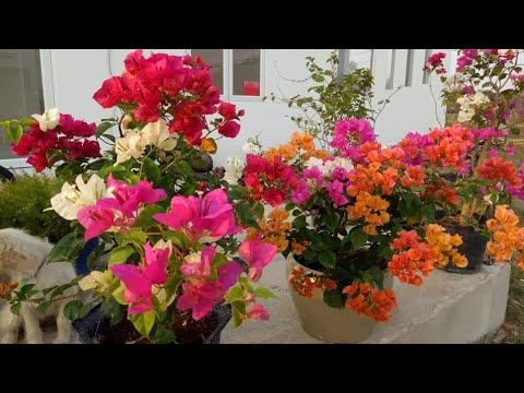 Kỹ thuật ghép tạo cây hoa giấy nhiều màu/Grafting technique to make multiple color bougainvillea
