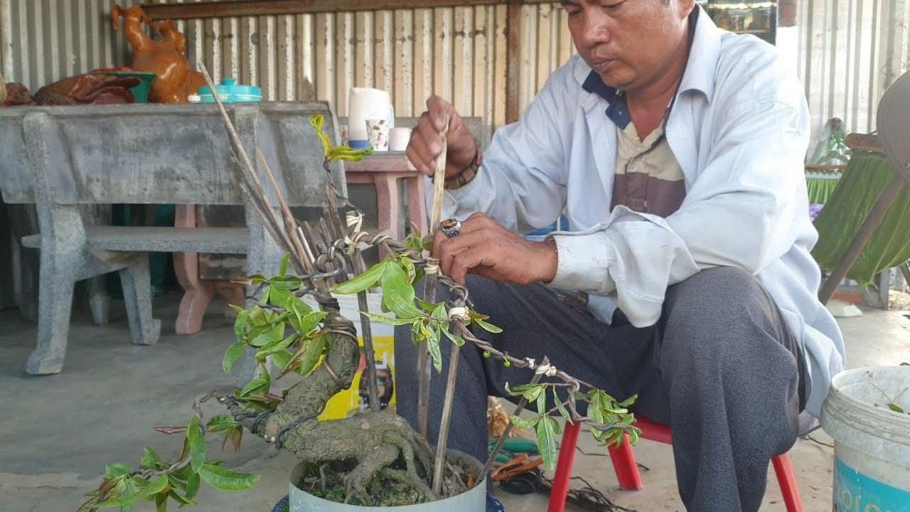 Kỹ thuật tạo dáng đơn giản cho mai bonsai mini để bàn