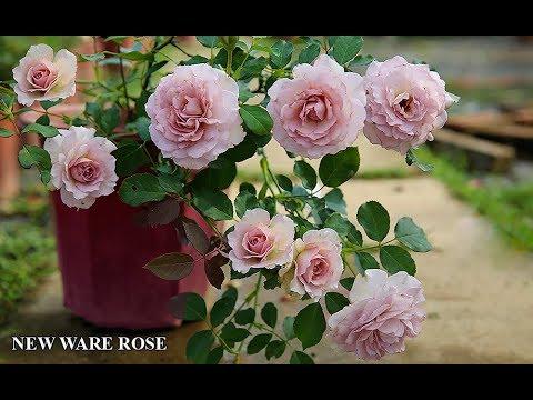 Lạ mắt với hoa hồng ngoại màu tím khói - hoa hồng ngoại New Wave rose | Hoa Hồng Nhật