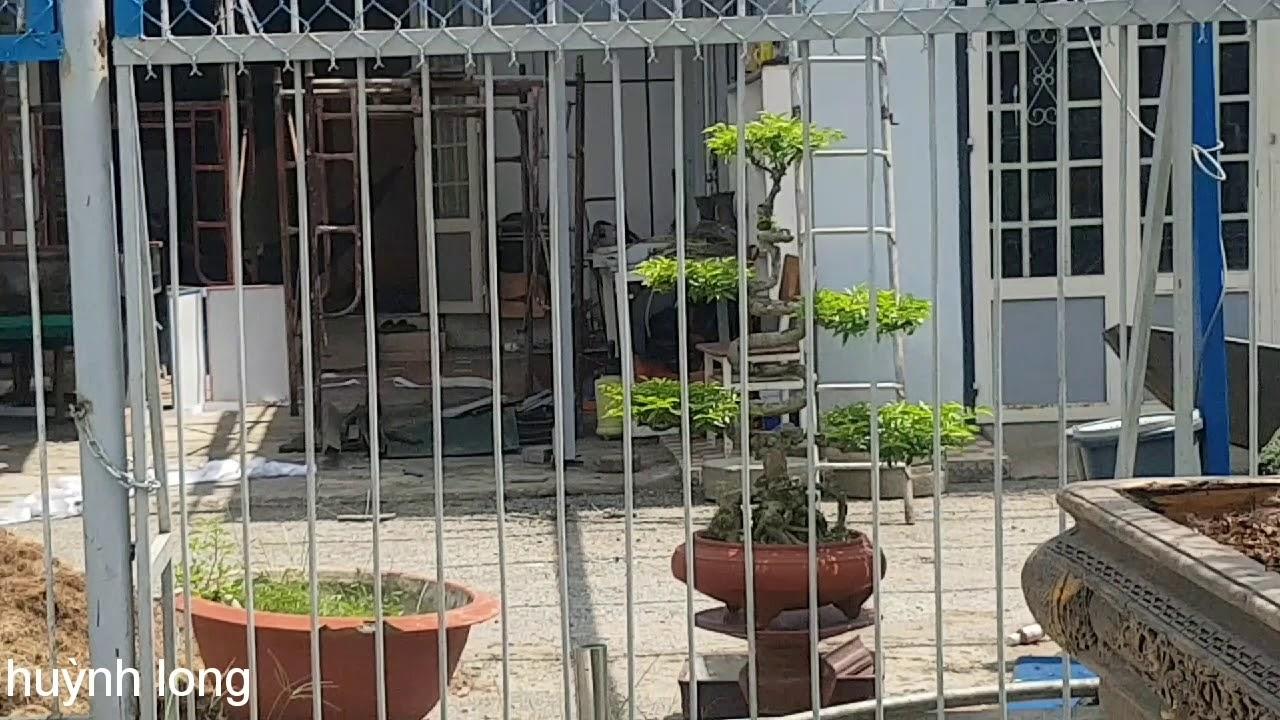 Lặt lá cây khế - để cây ra trái đồng loạt ngay tết