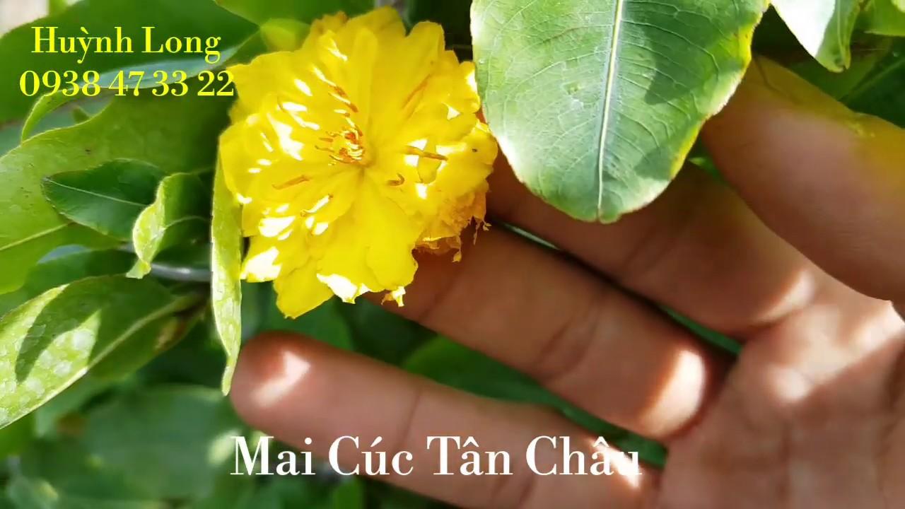 Mai Cúc Tân Châu 🥰 480k - 3Tr🥰 08/10/19