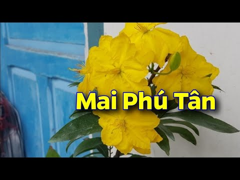Mai Giảo Phú Tân 😊 Hoa Chùm 😊 Hoa Thơm