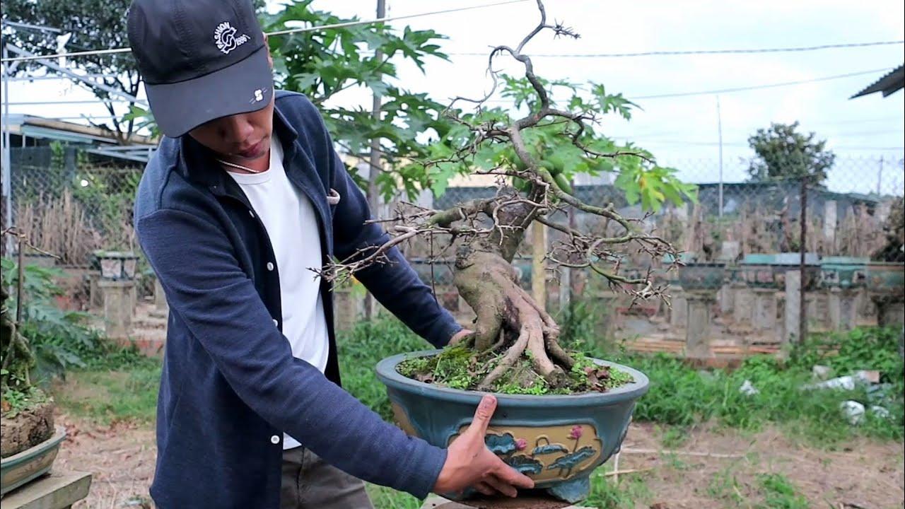 Mai bonsai cúc rồng bay giá 6.5tr (0383938201)