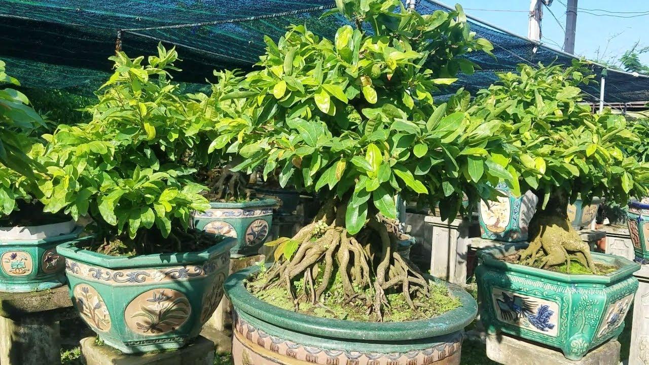 Mai bonsai đẹp vườn chú Hảo