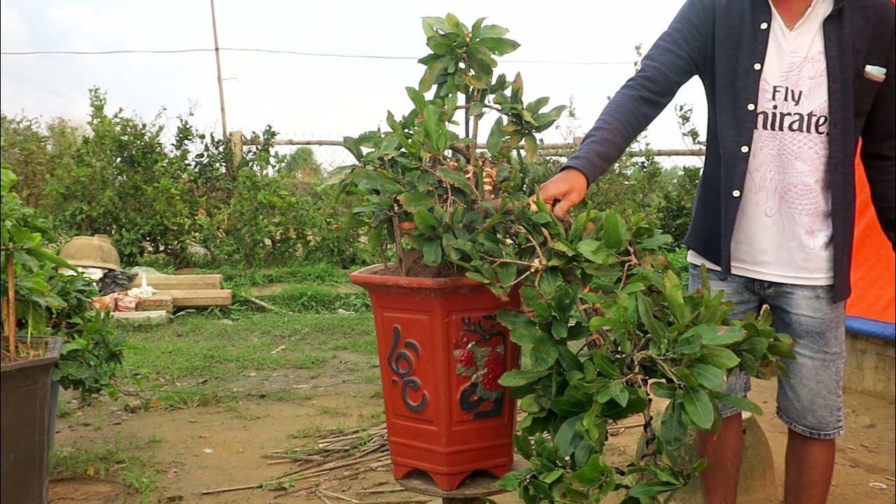 Mai bonsai thác đổ giá 2.4tr (đã bán)