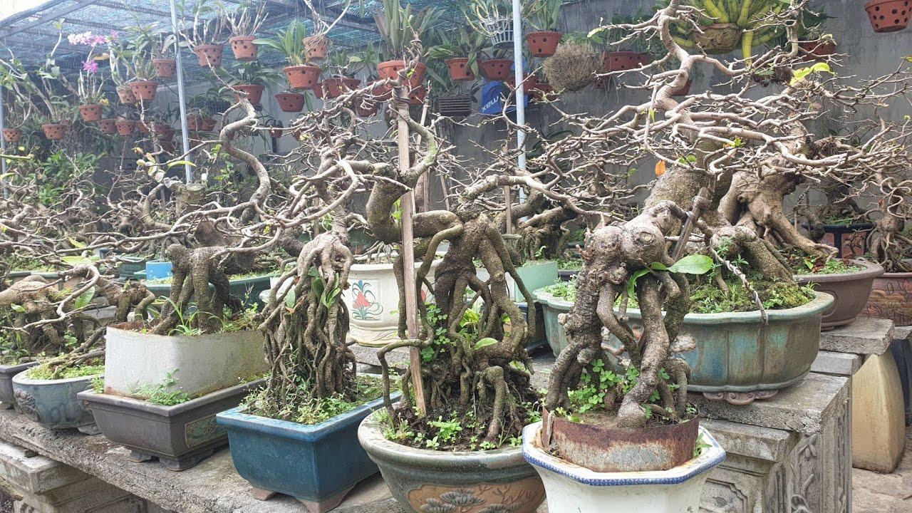 Mai bosai chân dài độc lạ sau tết ( vườn mai Quốc Hòa )