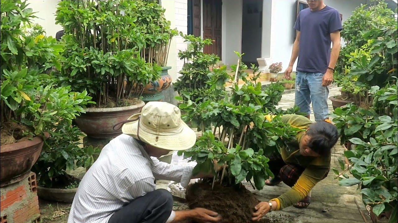 Mai dáng long Bình Định (Đã bán hết)
