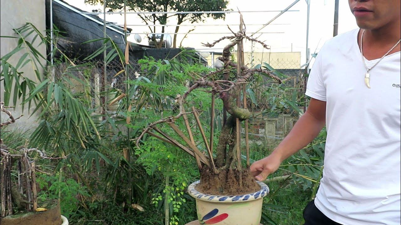 Mai tết 2020 Lô 6: Cặp mai bonsai mini chân dài giá 1.4tr/1 cây (đã bán)