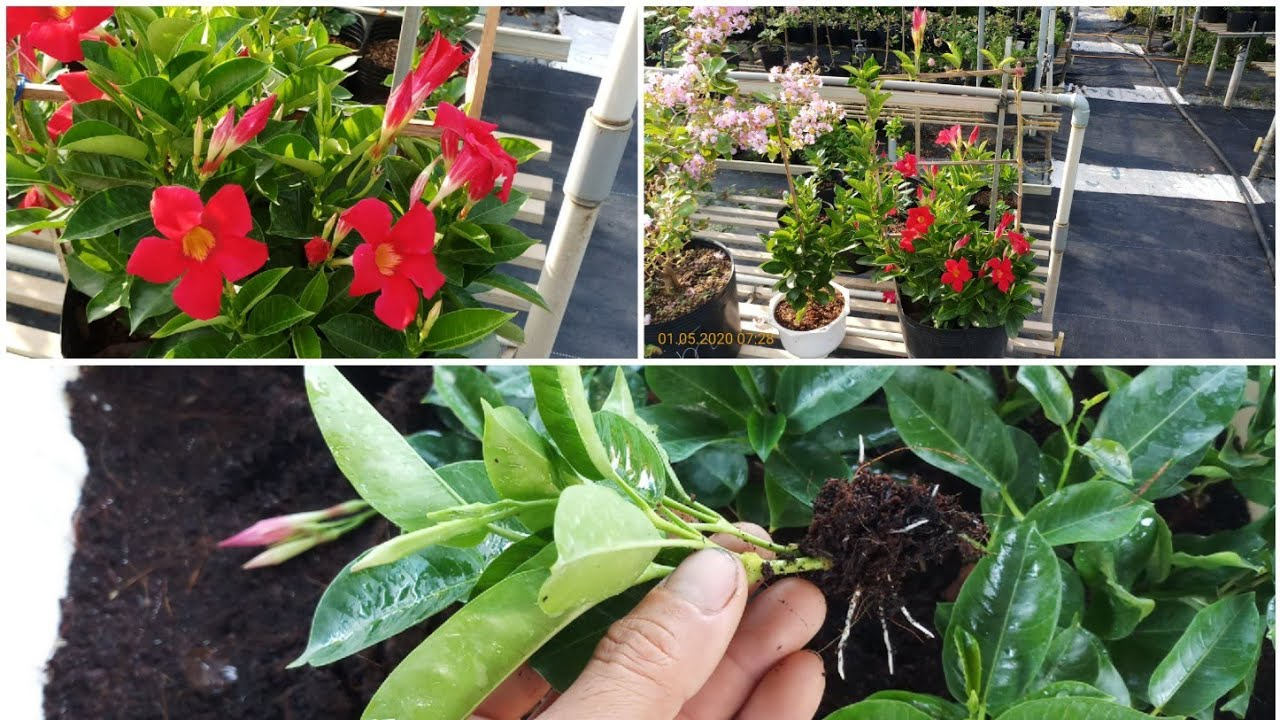 Mandevilla propagation cuttings