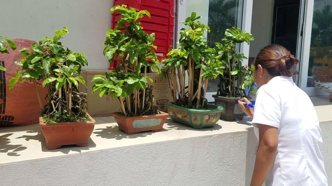 Mang cây từ vườn tới bưu điện gửi cho anh em và xem cách họ làm việc