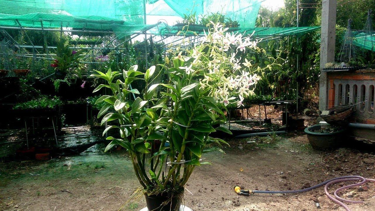 Một loại phân hữu cơ rất tốt cho hoa lan và bộ rể