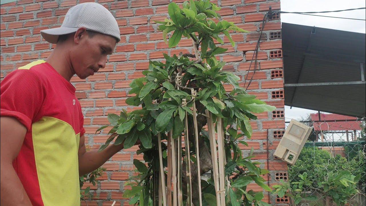 Mùa làm mai bonsai ở Bình Định