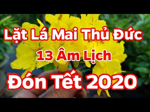Ngày 13 Tháng 12 Âm Lịch 🥰 Lặt Lá Cho Mai Thủ Đức Đón Tết 2020