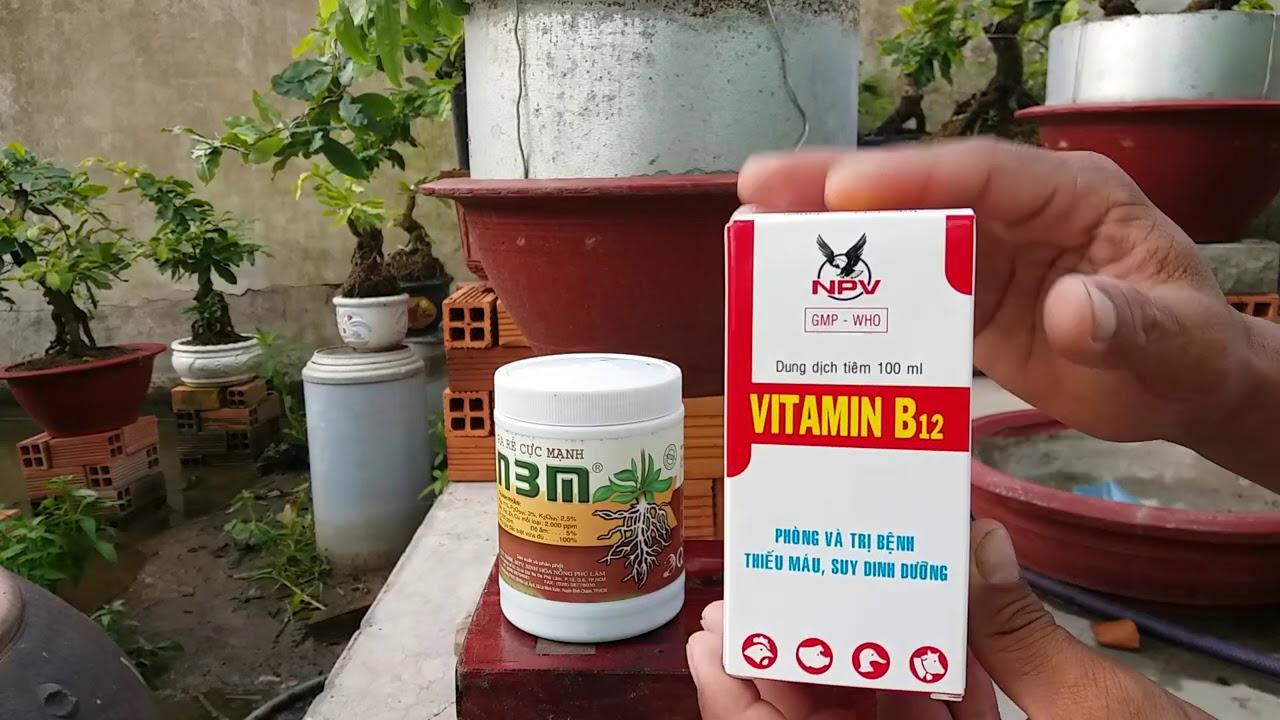 Nghệ thuật chăm sóc mai vàng - Cách dùng vitamin B12 và n3m cho cây mai vàng đúng cách