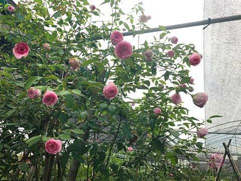 Nguồn gốc thực sự của hoa hồng Điều cổ | Hoa hồng cổ Việt Nam