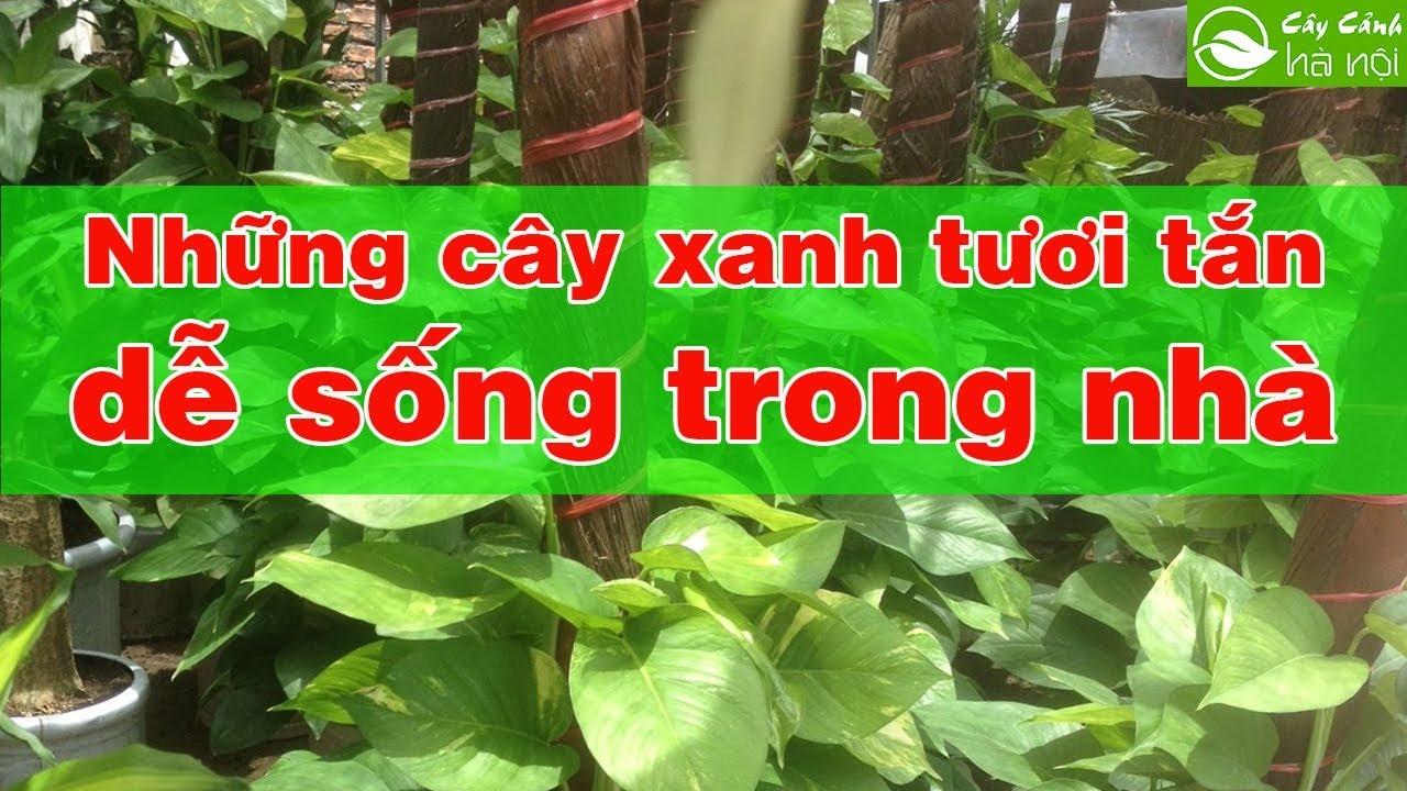 Những cây xanh tươi tắn, dễ sống trong nhà