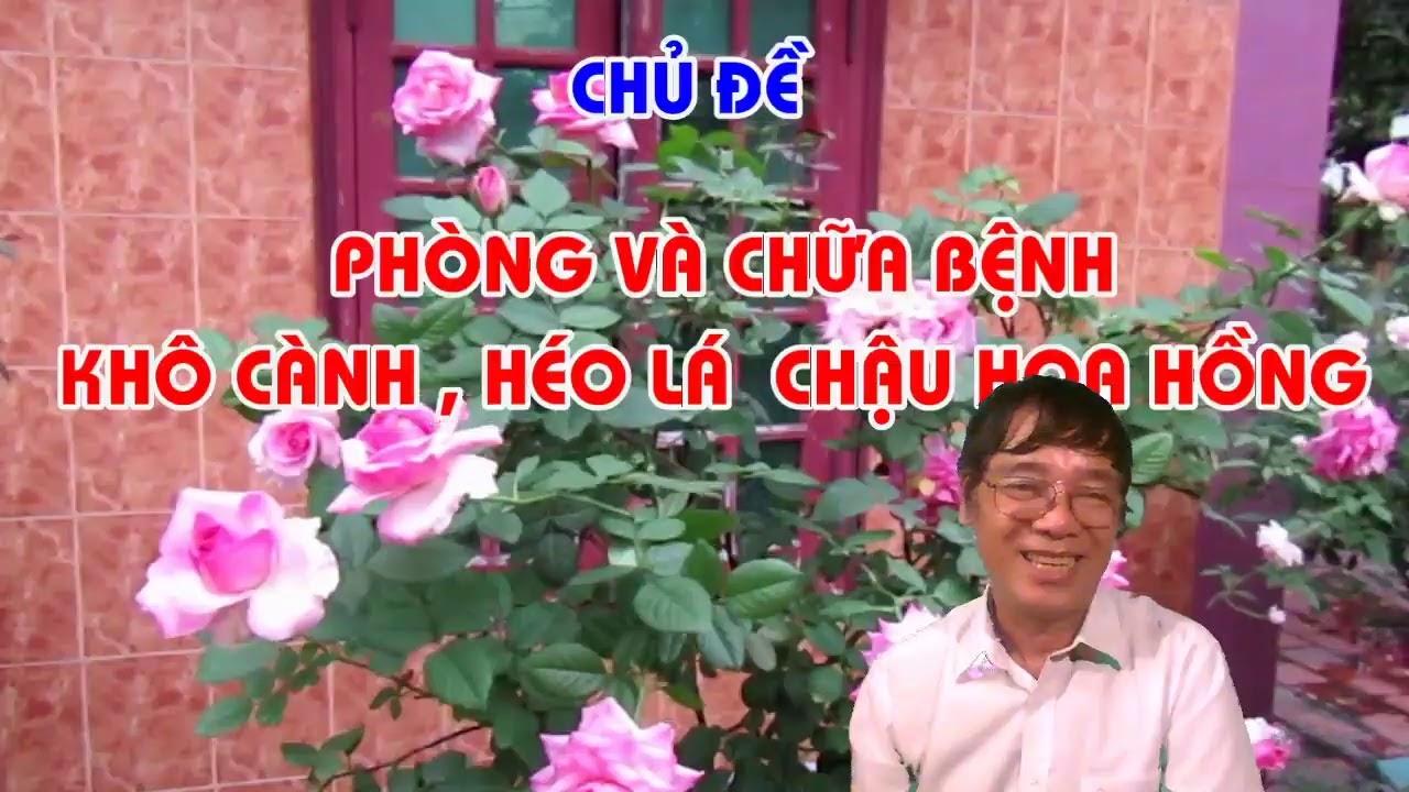 PHÒNG CHỮA BỆNH KHÔ CÀNH , CHẾT KHÔ CHẬU HOA HỒNG MÙA HÈ - LIVE STREAM - TRUNG HOA HỒNG