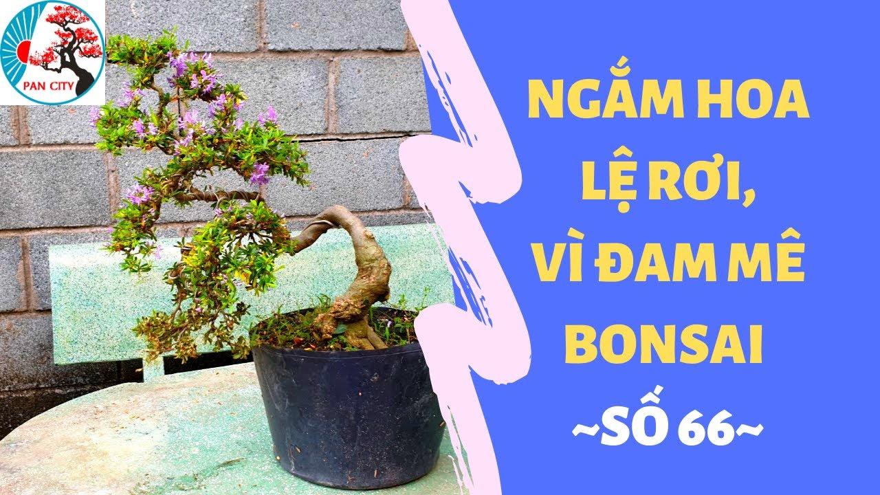 Pan City | Bonsai mini số 66 | Ngắm Hoa Lệ Rơi, Vì Đam Mê Bonsai Linh Sam Và Hồng Ngọc