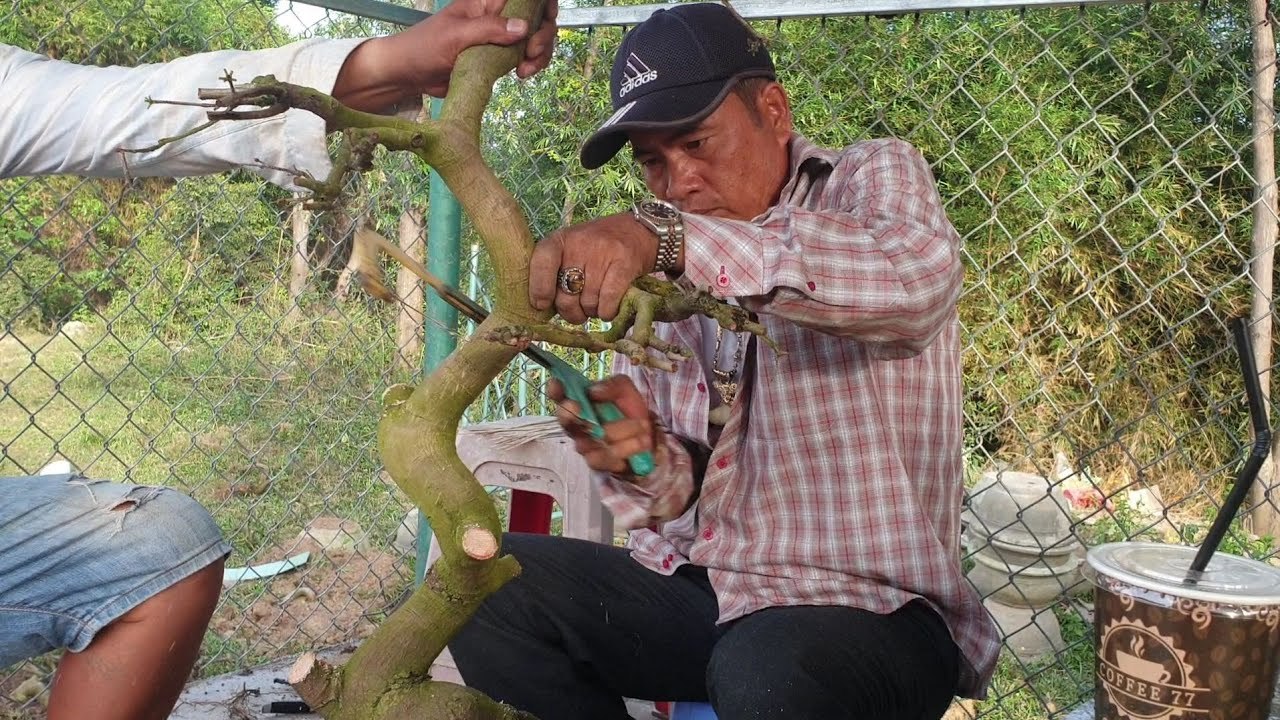 Phá thế mai dáng long tạo dáng bonsai
