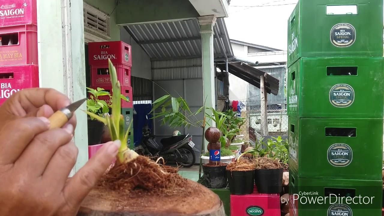 Process ò making coconut bonsai - Quy trình làm dừa kiểng