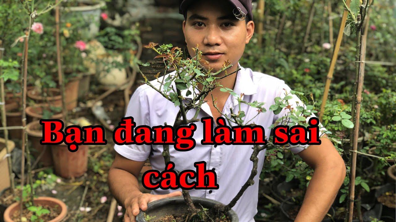 QUY TRÌNH TƯỚI NƯỚC VÀ BÓN PHÂN CHO HOA HỒNG..chuẩn garden tv