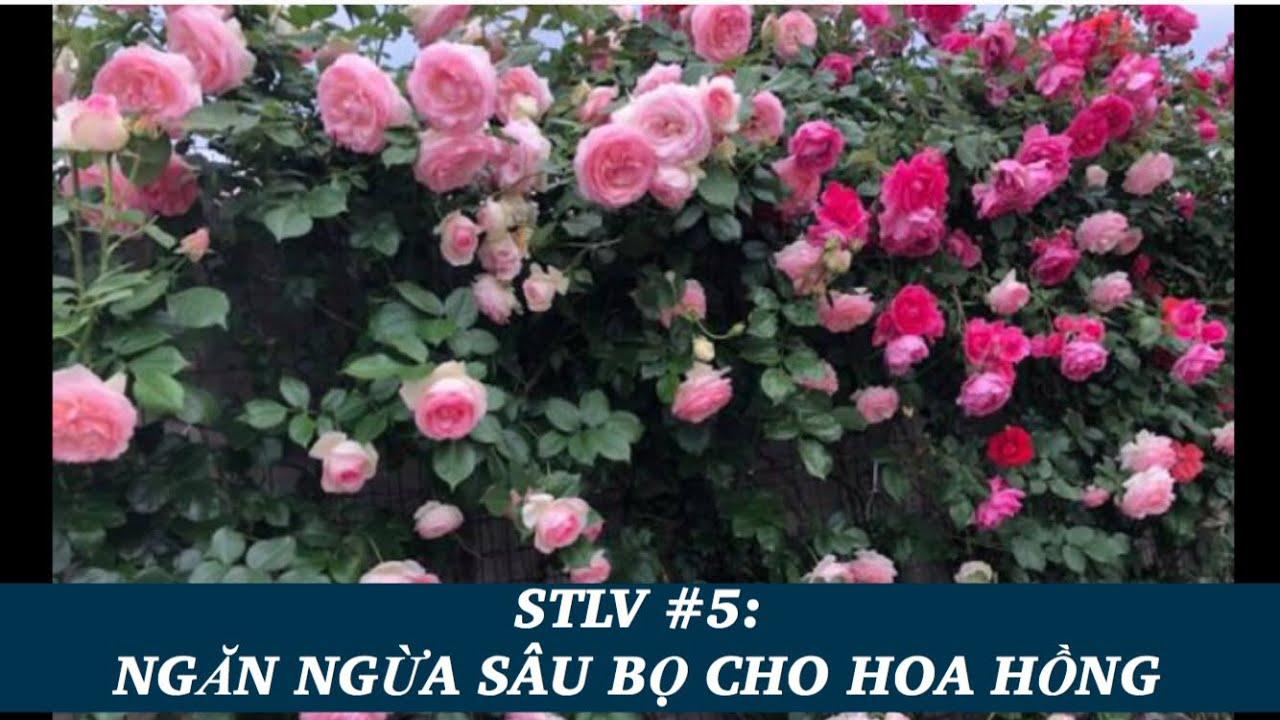 Sổ tay làm vườn tập 5 - Cách ngăn bọ ăn lá hoa hồng